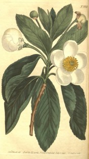 Illustrated are the shallowly toothed rounded leaves and axillary white flowers.  Curtis's Botanical Magazine t.668/1803.