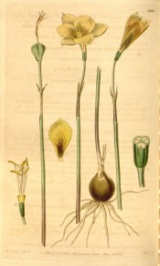 The image depicts the bulb and a single, yellow, vase-shaped flower.  Curtis's Botanical Magazine t.3596, 1837.