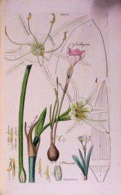 This line drawing shows several bulbous plants, including the present one, shown as bulb, leaf and flower.  Herbert pl.35, 1837.