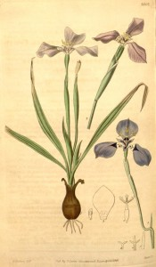 Figured are bulb, sword-shaped leaves and iris-like blue flowers flowers.  Curtis's Botanical Magazine t.3862, 1841.