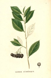 Figured are elliptic leaves and clumps of almost black berries.  Saint-Hilaire Arb. pl.3, 1824.
