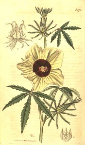 Shown are palmate leaves with narrow, toothed leaflets, and yellow, red-centred flowers. Curtis's Botanical Magazine t.1911,1817