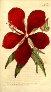 Figured are pinnate leaves and bright red 5-petalled flower.  Curtis's Botanical Magazine t.360, 1795.