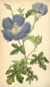 Figured are deeply lobed, pinnate leaves and blue-lilac bowl-shaped flowers.  Curtis's Botanical Magazine t.4329, 1847.