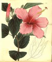 Figured are entire, toothed leaves and a deep pink flower.  Curtis's Botanical Magazine t.2891, 1829.