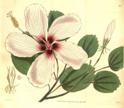 Figured are entire, toothed leaves and a pale pink flower, scarlet in the centre.  Curtis's Botanical Magazine t.3144, 1832