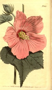 Figured are ovate, lobed leaves and deep pink, red-centred bowl-shaped flower.  Curtis's Botanical Magazine t.882, 1805.