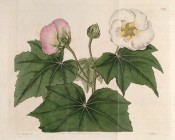 Figured are lobed leaves and both white and pink bowl-shaped flowers.  Botanical Register f.589, 1821.