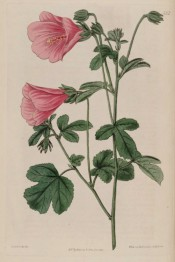 Figured are 3-lobed leaves and pink funnel-shaped flowers.  Botanical Register f.231, 1817.