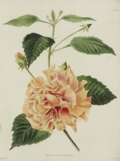 Shown are ovate toothed leaves and double, peach-colored flower with red in the centre. Loddiges Botanical Cabinet no.513, 1821.