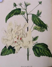 Shown are ovate toothed leaves and double, pale yellow flower with red in the centre. Loddiges Botanical Cabinet no.932, 1824.