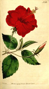Figured are ovate-lance-shaped, toothed leaves and bright red single flower.  Curtis's Botanical Magazine t.158, 1791.