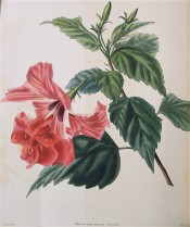 Shown are ovate toothed leaves and double, red flowers with red streaks on the petals.  Loddiges Botanical Cabinet no.963, 1824.