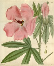 Shown are palmate leaves and pale pink salver-form flowers with dark red stamens.  Curtis's Botanical Magazine t.3025, 1830.