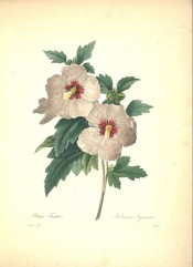 Figured are deeply lobed leaves and single white flower with red centre.  Redout? Choix pl.31, 1833.