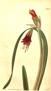 Shown are leaves and narrowly-funnel-shaped red flowers, yellowish-green at the base.  Curtis's Botanical Magazine t.2399, 1823.