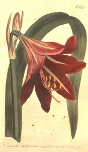 Illustrated are a strap-shaped leaf and deep red, trumpet-shaped flower.  Curtis's Botanic Magazine t.453, 1799.