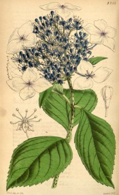 Figured are leaves and corymb of single white flowers the inner petal-less and blue.  Curtis's Botanical Magazine t.4253, 1846.