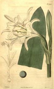 Shown are a line drawing of the whole plant, leaves and white, daffodil-like flowers.  Curtis's Botanical Magazine t.1224/1809.