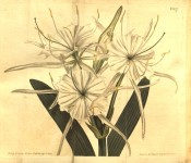 Shown are white flowers with an almost circular crown and long, narrow segments.  Curtis's Botanical Magazine t.827, 1805.