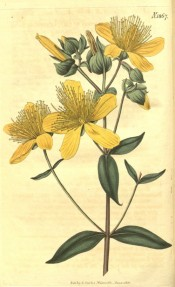 Illustrated are the lance-shaped leaves and star-shaped, deep yellow flowers.  Curtis's Botanical Magazine t.1867, 1816.