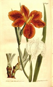 Figured are stem, leaf and copper-coloured flower.  Curtis's Botanical Magazine