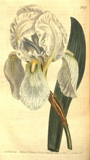 Illustrated is an iris with grey-green leaves and white flowers with yellow beards.  Curtis's Botanical Magazine t.671, 1803.