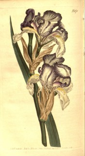Figured is a bearded iris with pale blue flowers, shaded white and yellow beard.  Curtis's Botanical Magazine t.870, 1805.
