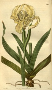 Figured are leaves and a branched stem with yellow bearded iris flowers.  Curtis's Botanical Magazine