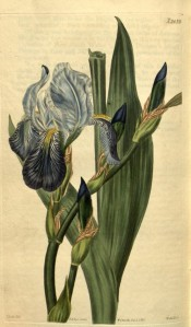 Figured is a bearded iris with pale blue standards and darker blue falls.  Curtis's Botanical Magazine t.2435, 1823.