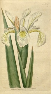 Figured are sword-shaped leaves and white and yellow iris flowers.  Curtis's Botanical Magazine t.61, 1788.