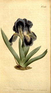 Figured is a dwarf bearded iris with short sword-shaped leaves purple flowers.  Curtis's Botanical Magazine t.1261, 1810.