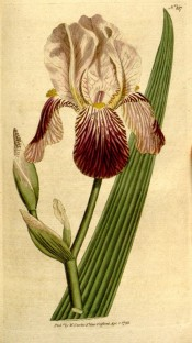 Figured is a bearded iris with whitish standards and red-brown falls, strongly veined.  Curtis's Botanical Magazine t.187, 1792.
