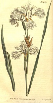 Figured are sword-shaped leaf and white, yellow-marked flowers with wavy segments.  Curtis's Botanical Magazine t.1163, 1809.