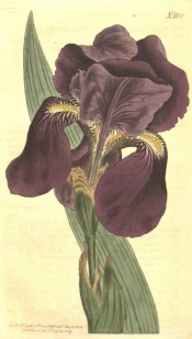 Figured is a bearded iris with broad leaves and purple flowers.  Curtis's Botanical Magazine t.1130, 1808.
