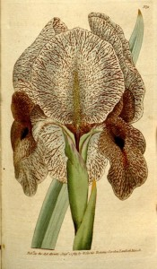 Figured is a bearded iris with greyish flowers speckled and marked reddish brown.  Curtis's Botanical Magazine t.91, 1789.