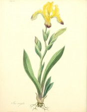 Figured is the whole plant with sword-shaped leaves and yellow flowers with purple markings.  Roscoe pl.26, 1831.
