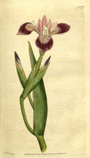 Figured are glaucous, lance-shaped leaves and claret, purple and white flowers.  Curtis's Botanical Magazine t.21, 1790.