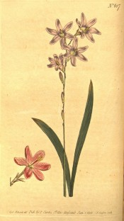 Figured are leaves and panicle of pale pink flowers plus a darker pink flower.  Curtis's Botanical Magazine t.617, 1803.