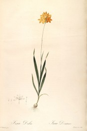 Figured is a slender ixia with lance-shaped leaves and orange flowers.  Redout? L pl.64, 1802-15.