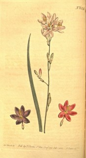 Figured is a leaf, white pink-streaked salverform flower with separate pink and mauve.  Curtis's Botanical Magazine t.127, 1790.