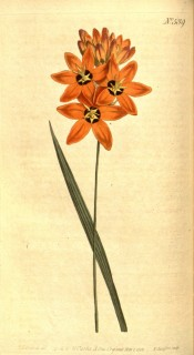 Figured is a narrow sword-shaped leaf and orange flower with a dark red centre.  Curtis's Botanical Magazine t. 539/1801.