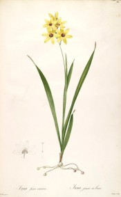 Figured is the whole plant with narrow leaves and lemon yellow flowers with a dark centre.  Redoute? L pl.86/1802-15.