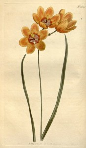 Shown are leaves and bright yellow salverform flowers with dark red and white centre.  Curtis's Botanical Magazine t.1378, 1811.