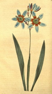 Figured are narrow sword-shaped leaves and blue flowers with an orange centre.  Curtis's Botanical Magazine t. 607/1802.