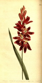 Figured is a narrow sword-shaped leaf and bright red flower with a paler centre.  Curtis's Botanical Magazine t. 522/1801.