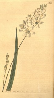 Figured is a sword-shaped leaf and white salverform flowers.  Curtis's Botanical Magazine t.623, 1803.