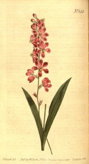 Figured are sword-shaped leaves and deep pink flowers with a green mark in the centre.  Curtis's Botanical Magazine t. 542/1801.