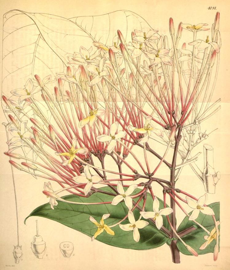 http://hortuscamden.com/images/plants/Ixora_odorata.jpg