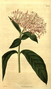 Figured are oblong leaves and a dense corymb of pink flowers.  Curtis's Botanical Magazine t.2428, 1823.